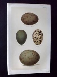 Seebohm 1896 Antique Bird Egg Print. Bustard, Thicknee 23